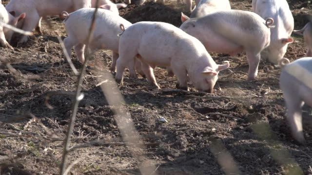 in winter. - pig stock videos & royalty-free footage
