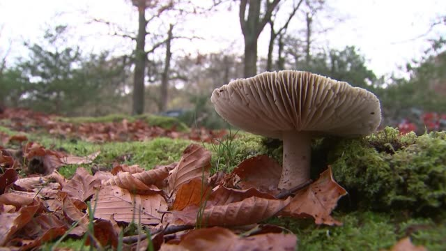 stockvideo's en b-roll-footage met increase in people foraging for food leads to loss of rare mushrooms england hampshire new forest ext various of mushrooms in the forest reporter and... - foerageren