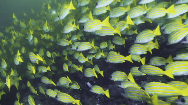incredible close up of a large school of bluestripe snapper fish swimming with the ocean current - snapper fish stock videos & royalty-free footage