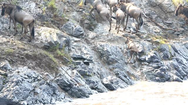 incredible fighting for survival - great wildebeest migration in kenya - herbivorous stock videos & royalty-free footage