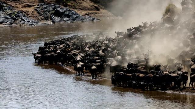 unglaubliche kämpfen für survival-great gnu migration in kenia - large group of animals stock-videos und b-roll-filmmaterial