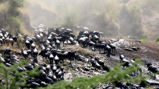 incredible fighting for survival - great wildebeest migration in kenya - wildebeest stock videos & royalty-free footage