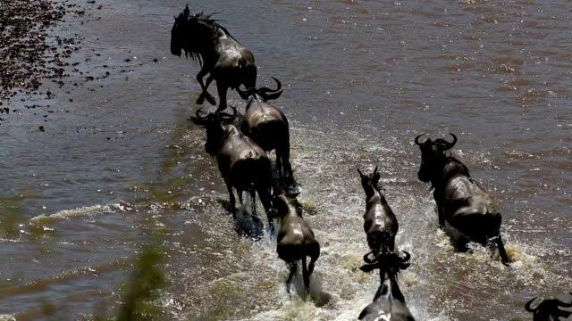 Incredibile lotta per la sopravvivenza-grande Gnu migrazione nel Kenya