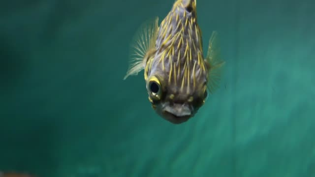 independent puffer fish - slow motion - cute stock videos & royalty-free footage