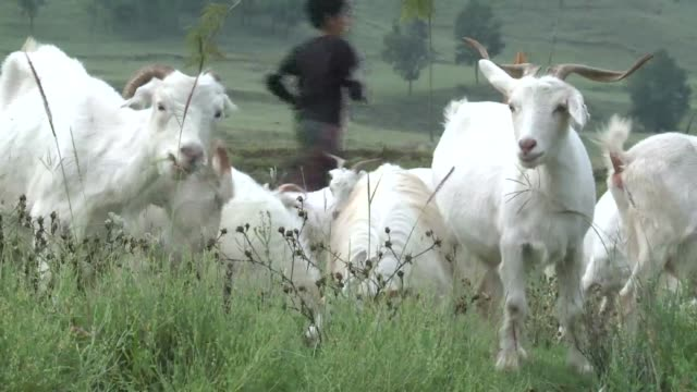 india is fighting back against cheap copies of its prized pashmina shawls by cloning goats and patenting the quality wool to protect local producers... - cloning stock videos & royalty-free footage