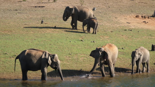 india, kerala, periyar national park (periyar tiger reserve) elephants along the shores of the lake - wildlife reserve stock videos & royalty-free footage
