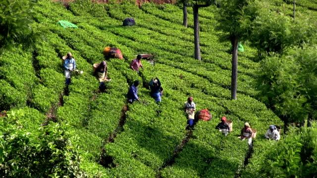 india, tamil nadu, balacola, chamraj, tea harvest - rural scene stock videos & royalty-free footage