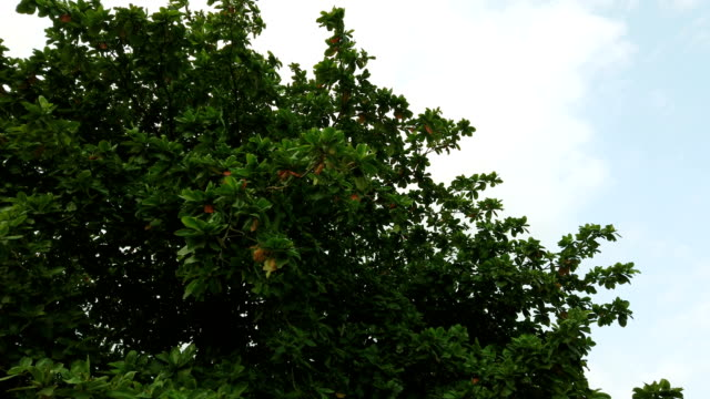 Indiase amandelboom in de zomer