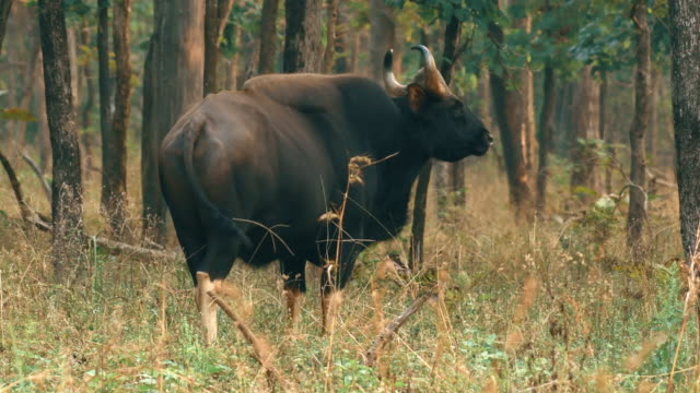 indian bison of gaur grazing in forest reserve - wildlife stock videos & royalty-free footage