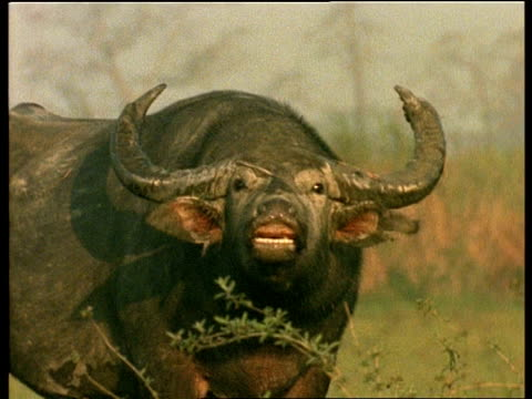 cu indian buffalo grimacing, india - grimacing stock videos and b-roll footage