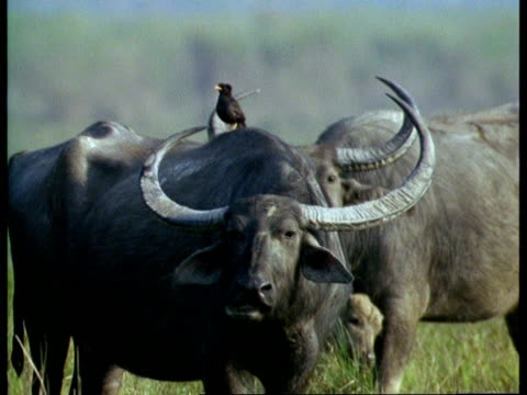 ms indian buffalo standing with myna bird on back, india - piggyback stock videos & royalty-free footage