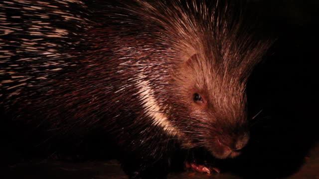 Indian Crested Porcupine (Hystrix indica) cu head
