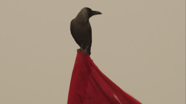 indian crow stands on top of red flag looks around then flies off - crow stock videos & royalty-free footage