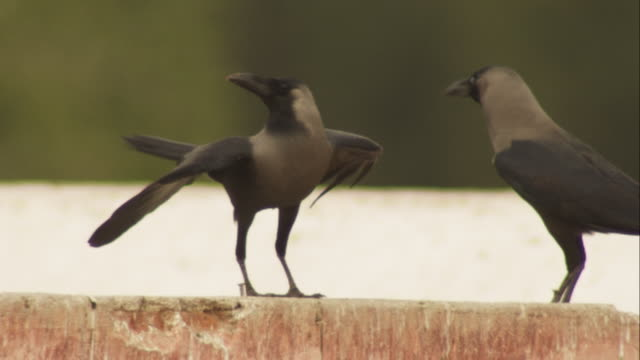 2 Indian crows with one making dancing movements