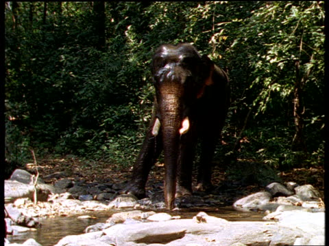 Indian elephant by stream in forest, uses trunk to splash water over itself