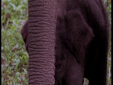 vídeos de stock e filmes b-roll de indian elephant, elephas maximus, calf between mothers legs, western ghats, india - nariz de animal