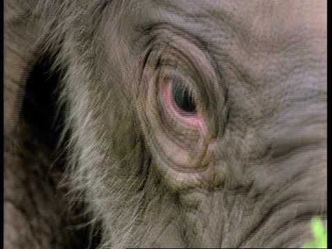 bcu indian elephant, elephas maximus, calfs head, front view, western ghats, india - tierhaut stock-videos und b-roll-filmmaterial