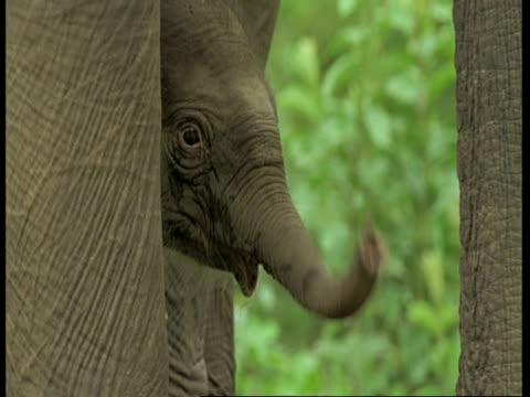 vídeos de stock e filmes b-roll de indian elephant, elephas maximus, calfs head peeping around adults legs, western ghats, india - nariz de animal