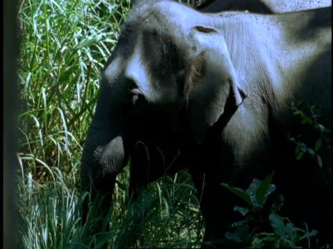 vídeos de stock e filmes b-roll de ms indian elephant, elephas maximus, feeding on grass, western ghats, india - nariz de animal
