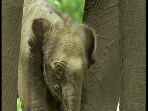 vídeos de stock e filmes b-roll de cu indian elephant, elephas maximus, head, tilts down to calfs head between adults legs, western ghats, india - nariz de animal