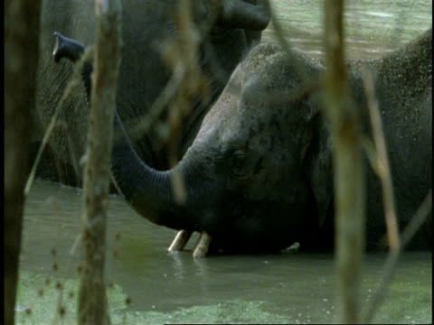 ms indian elephant, elephas maximus, in river, western ghats, india - tierische nase stock-videos und b-roll-filmmaterial
