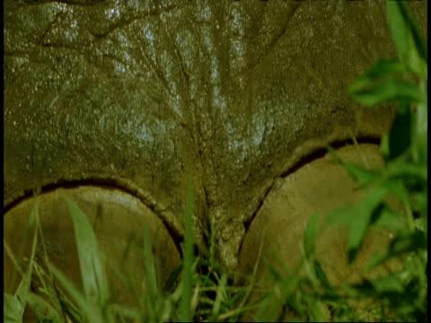 vidéos et rushes de ms indian elephant, elephas maximus, leech feeding on elephants leg, western ghats, india - animal microscopique