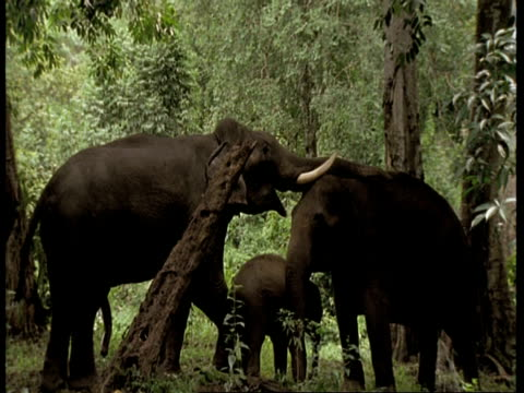Indian Elephant, Elephas maximus, male and female, courtship display, Western Ghats, India
