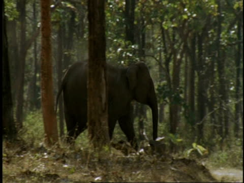 vidéos et rushes de ms indian elephant, elephas maximus, running through forest and across road, western ghats, india - elephant