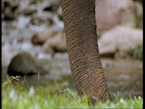 vídeos de stock e filmes b-roll de cu indian elephant, elephas maximus, swinging trunk, river in background, western ghats, india - nariz de animal