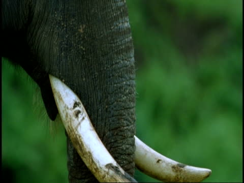 cu indian elephant, elephas maximus, trunk and tusks, western ghats, india - naso di animale video stock e b–roll