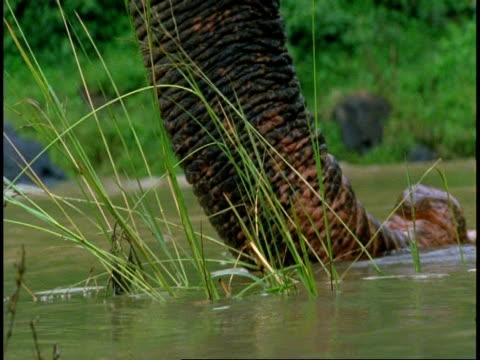 cu indian elephant, elephas maximus, trunk feeling vegetation, western ghats, india - naso di animale video stock e b–roll