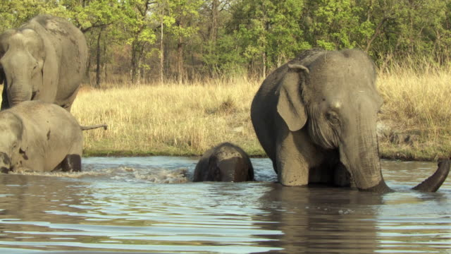 ws pan indian elephant (elephus maximus indicus) family in waterhole / india - camminare nell'acqua video stock e b–roll