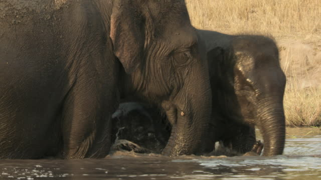 ms indian elephant (elephus maximus indicus) family in waterhole / india - camminare nell'acqua video stock e b–roll