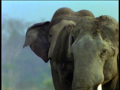 Indian elephant uses trunk to yank and tug at another elephant's ear, Kaziranga National Park, India
