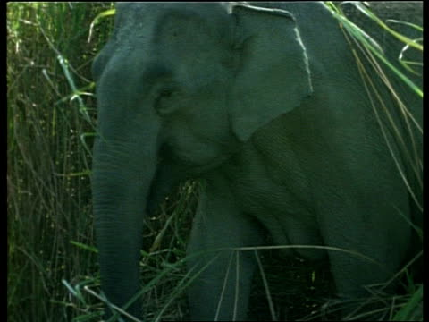 CU Indian Elephant walking out of long grass, India