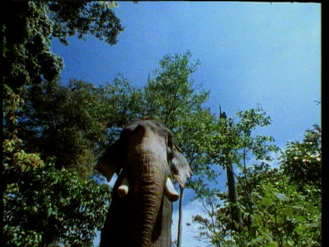 Indian elephant walking over camera