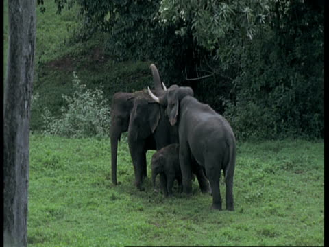 Indian Elephants, Elephas maximus, male trying to mount female elephant in forest clearing, Western Ghats, India