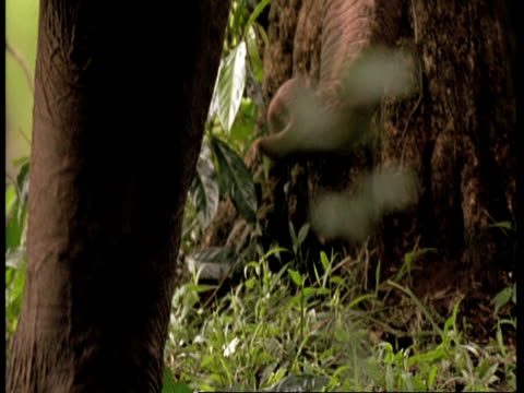indian elephants, elephas maximus, trunk foraging in undergrowth, western ghats, india - foraging stock videos & royalty-free footage