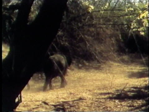 1957 montage pan ws indian elephants walking through jungle / india / audio - 1957 stock videos & royalty-free footage