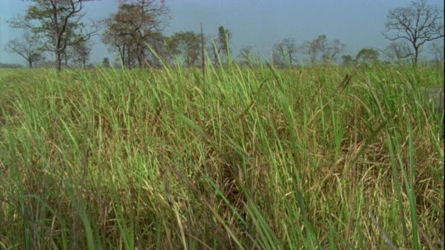 Indian elephants wander through elephant grass in Kaziranga, India.