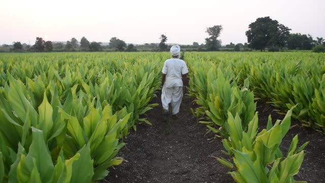 indian farmer in turmeric plant field, india. - season stock videos & royalty-free footage