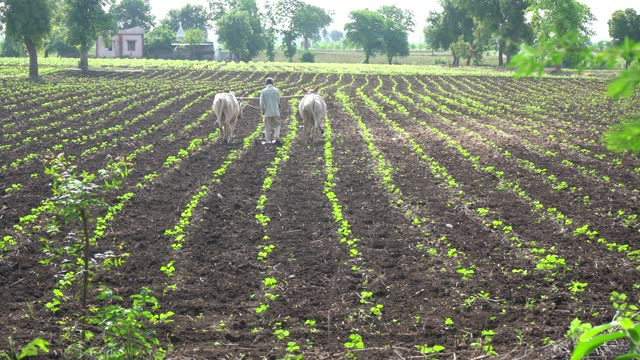 indian farmer working in the cotton field. - india stock videos & royalty-free footage