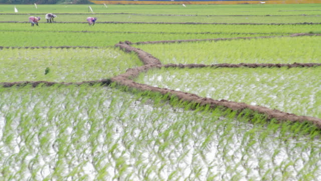 indian farmers harvest 20% of the world's rice production - reisfeld stock-videos und b-roll-filmmaterial