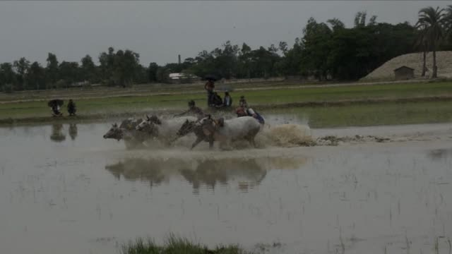 indian farmers take part in a bull race as part of a monsoon festival in the hope of bringing good rain and a better harvest. clean : indian farmers... - kolkata stock videos & royalty-free footage