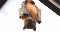 Indian flying fox bat on the roof looking to camera - Pteropus giganteus