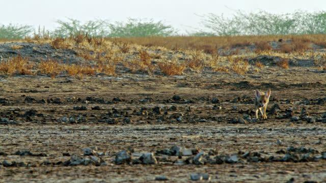 indian fox cub running through desert land - futter suchen stock-videos und b-roll-filmmaterial