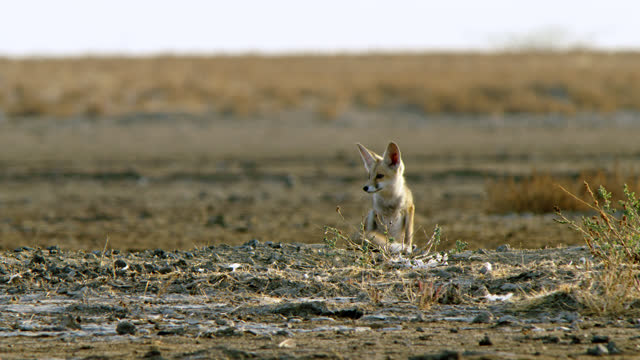 indian fox cub sitting with hind legs in the desert land - sitting stock videos & royalty-free footage