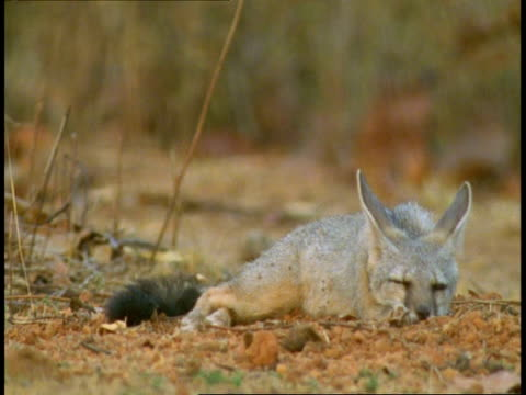 ms indian fox (vulpes bengalensis) sitting in open ground, rests head on ground, bandhavgarh national park, madhya pradesh, india - animal ear stock videos & royalty-free footage