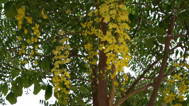 indian laburnum  or golden shower tree blooms. - plant attribute stock videos and b-roll footage