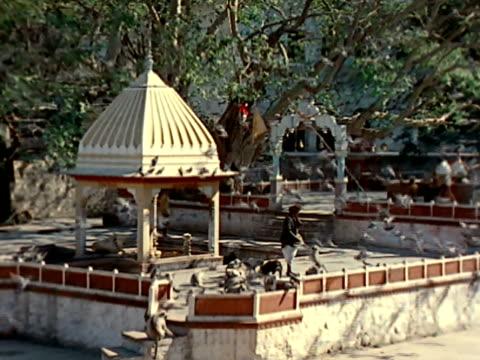 vídeos de stock e filmes b-roll de indian male in traditional clothing feeding hanuman langur monkey - belveder
